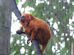 Mono dorado, en peligro de extinción