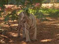 Tigre blanco en el zoo de Mysore