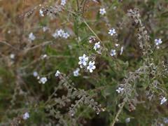 Flores en Rinjani