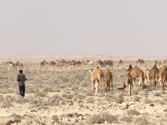 Pastor y rebaño de camellos