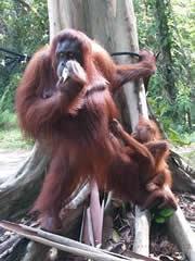 Madre y bebé orangután en Semenggok