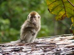 Mono herido