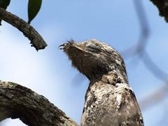 El pájaro-rama, de camuflaje