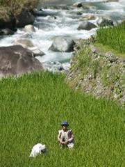 El río que irriga las terrazas. Señora limpiando el grano