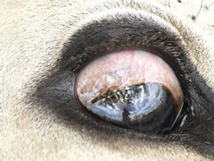 El fotógrafo, reflejado en el ojo de la vaca