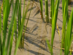 Pececitos en los arrozales