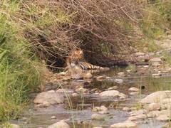 Tigre relajado
