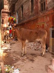 Las vacas, dueñas de las callejuelas