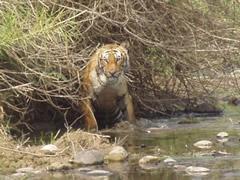 Tigre mirando el menú
