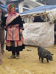 Mercado dominical en Bac Ha. Paseando el cerdo