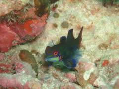 El pez mandarín