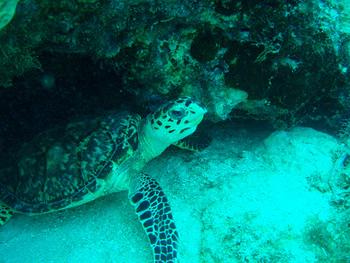 Buceando con tortugas en Providencia