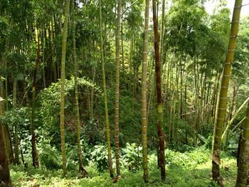 Bosque de bambú en el cafetal