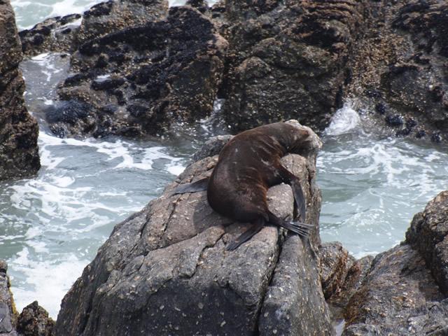 Foca en Cabo Foulwind