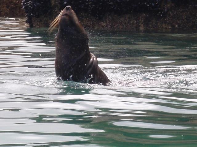 Foca nadando alrededor del kayak