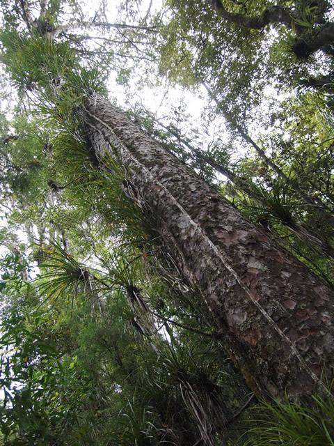 Tāne Mahuta, Señor de los Bosques